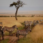 Zebras-mara